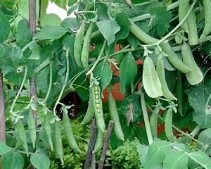 Gardensonline  Pisum Sativum