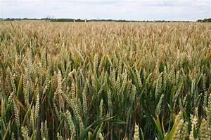 Crop Wheat Field 06