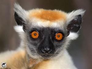 Related Keywords & Suggestions for lemur eyes