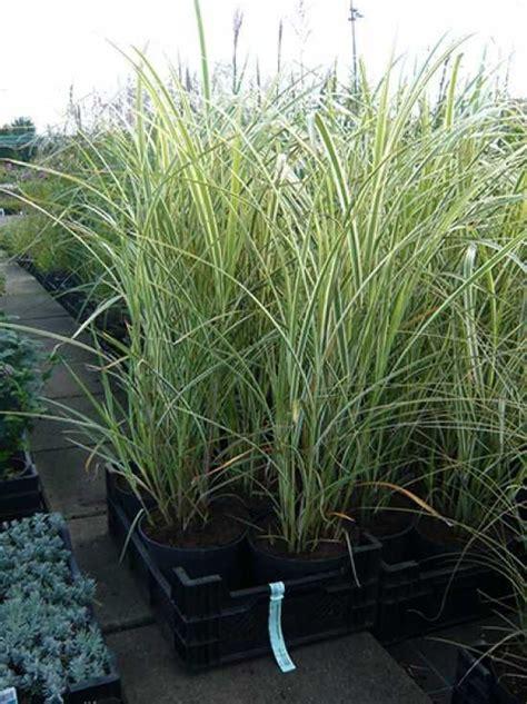 Extrem Winterharte Kübelpflanzen sichtschutz extrem winterhart kein austrieb miscanthus