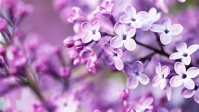 Flowers Spring Purple Wallpapers 1366