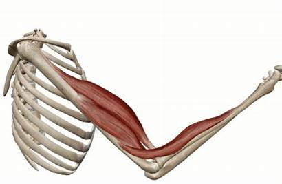 Elbow Flexion Joint Muscles Biceps Arm Compartment