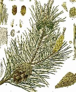 Unterschied Pinie Kiefer : waldpflanzen nacktsamer ~ Orissabook.com Haus und Dekorationen
