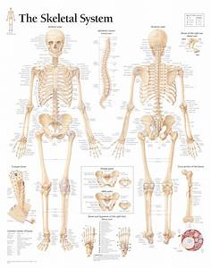 Labeled Human Skeletal System Anatomical Chart