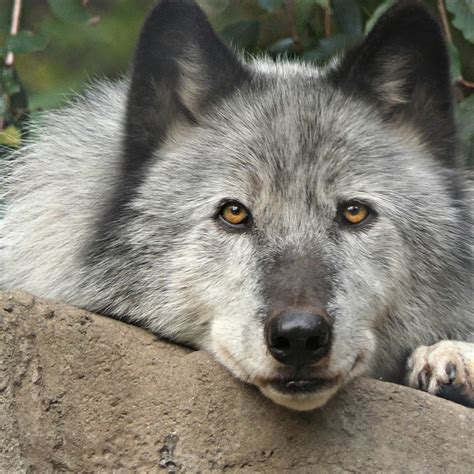 Virtual Enrichment Program With Wolves Wolf