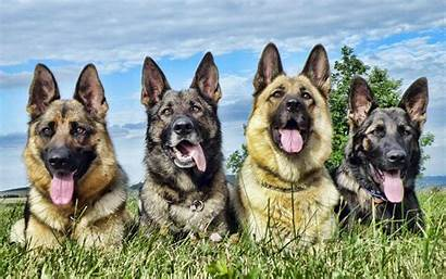 Dogs German Guard Shepherd Shepherds Animal Background