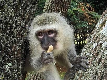 Monkeys Baboons George Monkey Ape