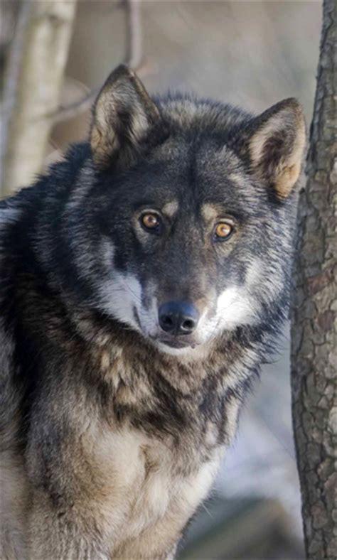 squam speaker series wolves squam lakes association