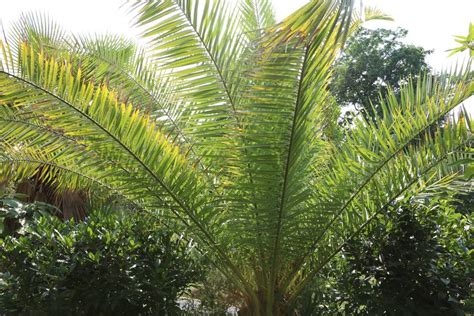Yucca Palme Bekommt Gelbe Blätter by Palme Bekommt Gelbe Bl 228 Tter Oder Braune Blattspitzen