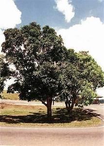 Avocado Baum Pflege : mango mangifera indica anzucht pflege und kultur ~ Orissabook.com Haus und Dekorationen