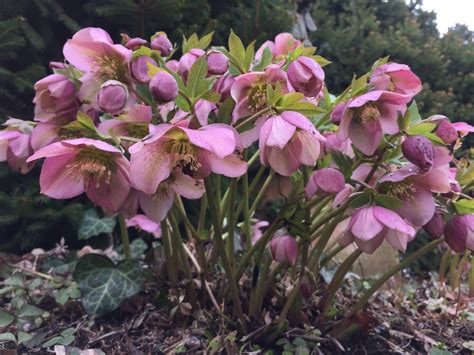hellebores helleborus hellebores dirt simple