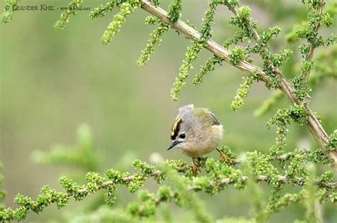 einheimische vögel bilder teneriffa birding and bird photography leander khil birdwatching austria v 195 182 gel beobachten