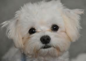 small dogs that dont shed hairs five small breeds that don 180 t shed much popular kid