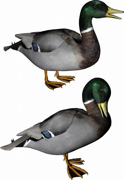 Duck Pngimg Web Freepngimg
