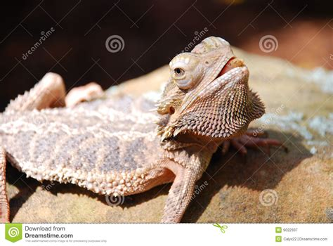 angry bearded dragon royalty free stock image