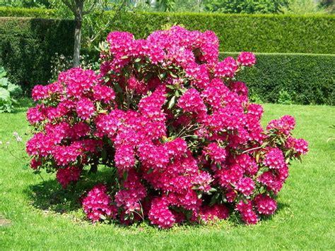 arbustes à fleurs fleurs et arbustes d ornement album photos mon jardin