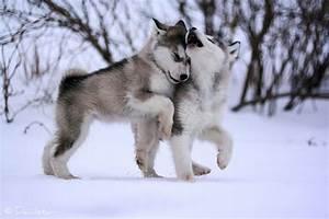 adorable, cute, huskies, husky, puppies - image #364758 on ...