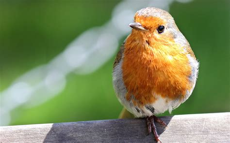 You can choose the best robin bird wallpaper apk version that suits your phone, tablet, tv. Robin bird close up wallpaper | 1920x1200 | #14114