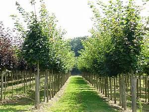 Arbres Fruitiers Nains En Pleine Terre : production d arbres d alignement le t moignage des ~ Premium-room.com Idées de Décoration