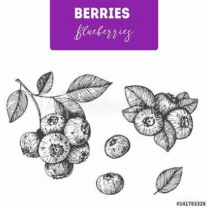 Blueberry Blueberries Berries Engraved Drawn Leaf Sketch