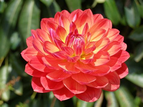 dahlia pic dahlia society of south australia inc