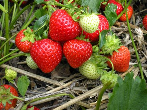 planting strawberries how to take cuttings from strawberry plants the garden of eaden