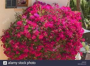Mur De Fleurs : la mer de fleurs m diterran ennes sur un mur de la maison banque d 39 images photo stock ~ Farleysfitness.com Idées de Décoration