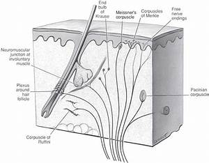 Meissners Corpuscles Diagram Images