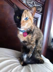 venus the cat is venus the two faced cat really a chimera