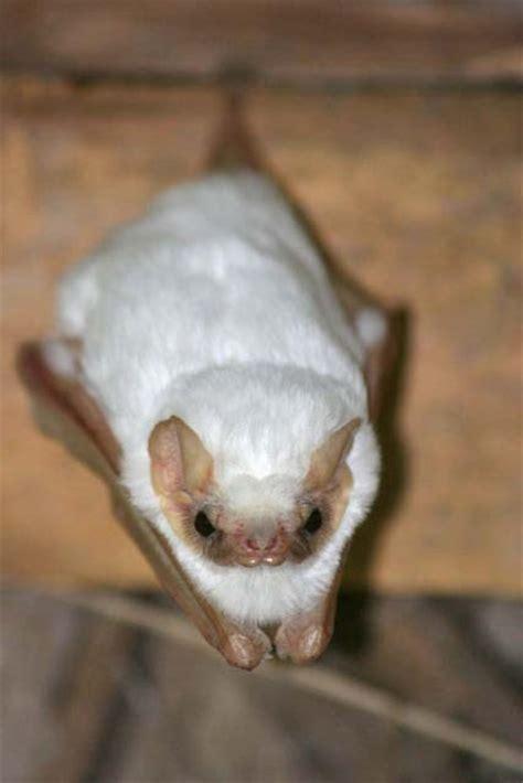 bat  pinterest baby bats bats  costa rica