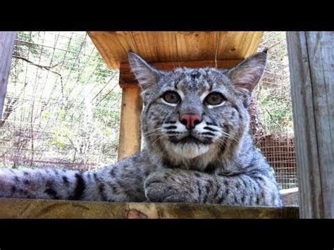"Max  Rescued ""pet"" Bobcat Youtube"
