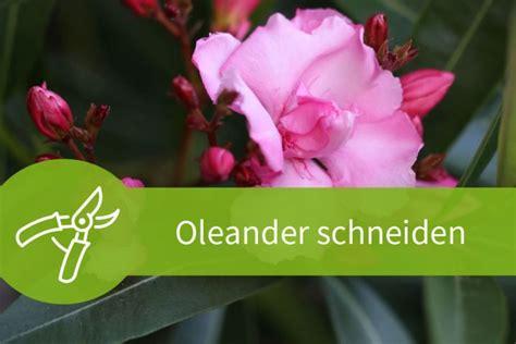 oleander schneiden wann oleander schneiden der richtige schnitt zur richtigen zeit