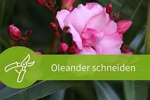 Oleander Im Winter : oleander schneiden der richtige schnitt zur richtigen zeit ~ Orissabook.com Haus und Dekorationen