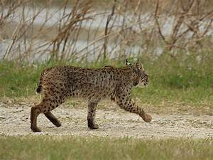 Sharing Four Points with wildlife, bobcats vs mountain ...