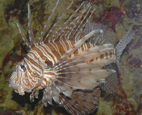 lionfish pterois cull goliath grouper volitans eat waters floridan invaders