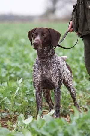 german shorthaired pointer blank dog greeting card csp