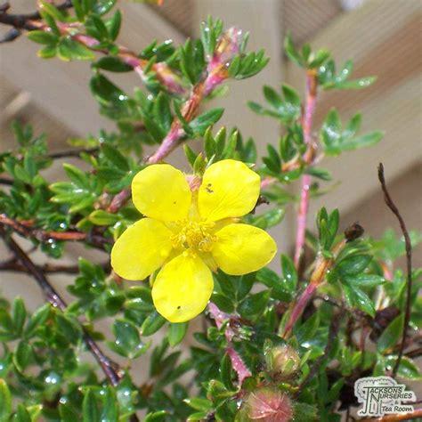 Buy Potentilla fruticosa Elizabeth (Cinquefoil) in the UK