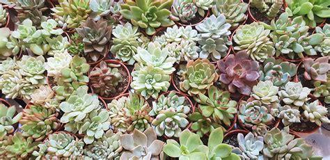 กุหลาบหิน Succulent