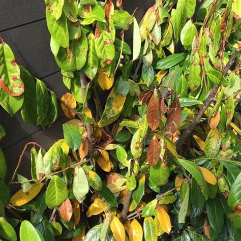 Kirschlorbeer Krankheiten Gelbe Blätter by Portugiesischer Kirschlorbeer Gelbe Bl 228 Tter Wohn Design