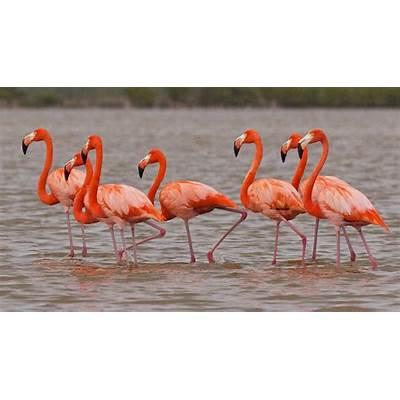 American Flamingo / phoenicopterus ruberThe Yucatan
