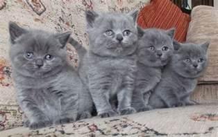 shorthair cats for beautiful pedigree blue shorthair kittens