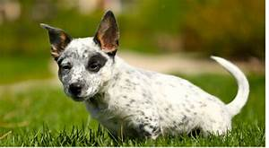 Photo of Australian Cattle puppy in white and black dots ...