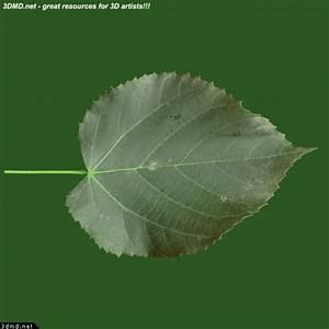 Linden Tree Leaves Textures - Free Tilia Tree Leaf Texture ...