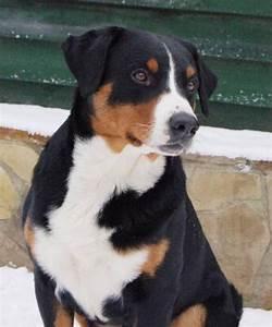 Best 10+ Appenzeller sennenhund ideas on Pinterest ...