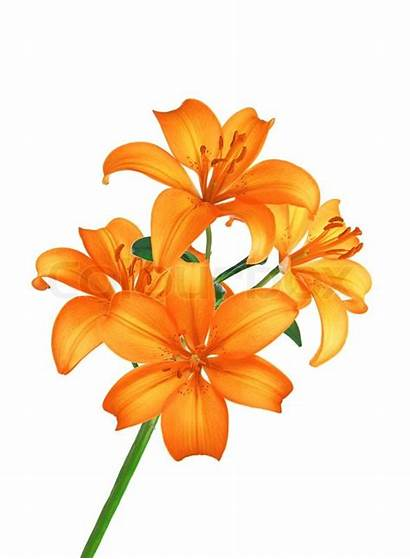 Orange Flowers Lily Isolated Giglio Arancione Blomster
