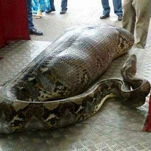 Picture: Did this HUGE snake eat a human being? - AOL UK ...