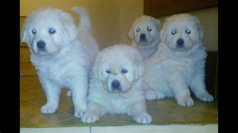 polish tatra sheepdog puppies youtube
