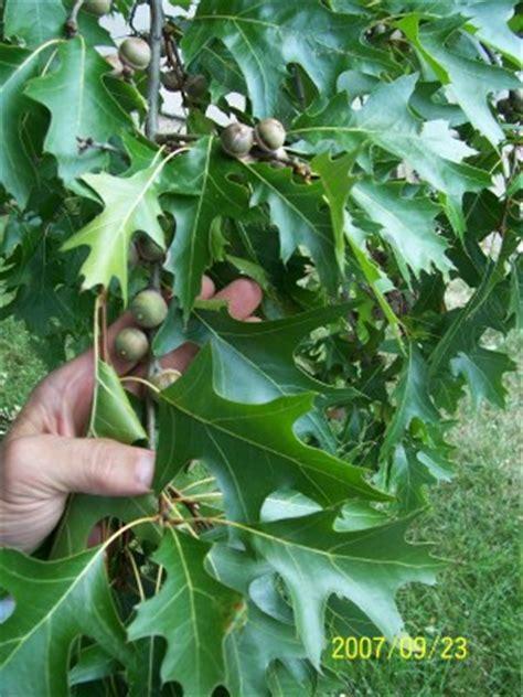 pin oak kelly tree farm