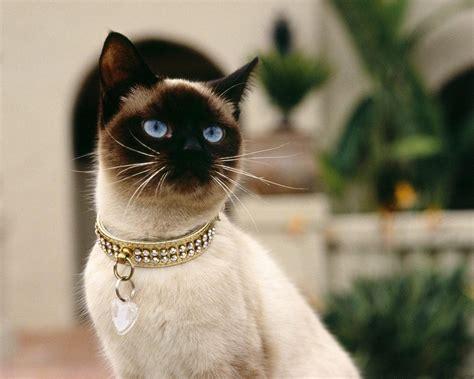 Galerija - Siāmas kaķi