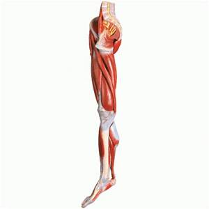 Muscles Of The Leg With Main Vessels And Nerves Model